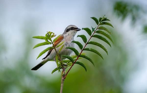 Сорокопут-птица-её-особенности-образ-жизни-и-среда-обитания-9