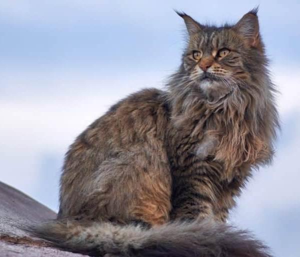 Мейн-кун-самая-крупная-порода-кошки-Описание-особенности-и-уход-1