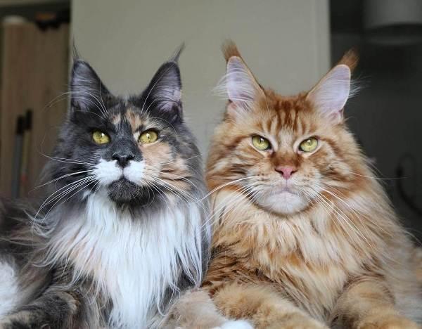 Мейн-кун-самая-крупная-порода-кошки-Описание-особенности-и-уход-2