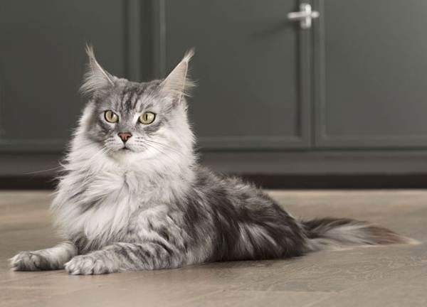 Мейн-кун-самая-крупная-порода-кошки-Описание-особенности-и-уход-3