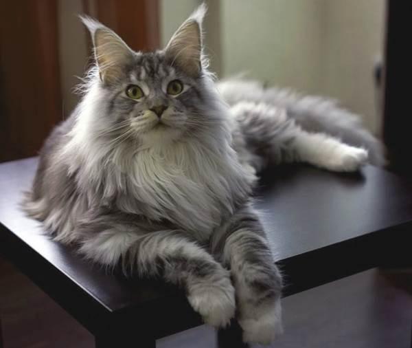 Мейн-кун-самая-крупная-порода-кошки-Описание-особенности-и-уход-4