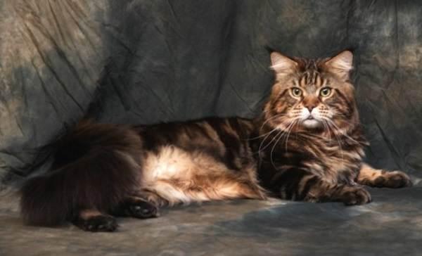 Мейн-кун-самая-крупная-порода-кошки-Описание-особенности-и-уход-5