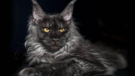 Мейн-кун самая крупная порода кошки. Описание, особенности и уход