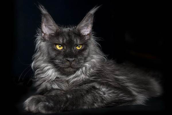 Мейн-кун-самая-крупная-порода-кошки-Описание-особенности-и-уход-6