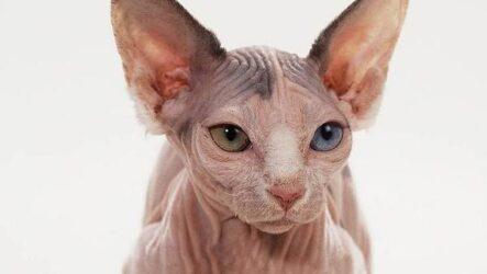 Порода кошки минскин, её особенности, характер и как ухаживать за ней