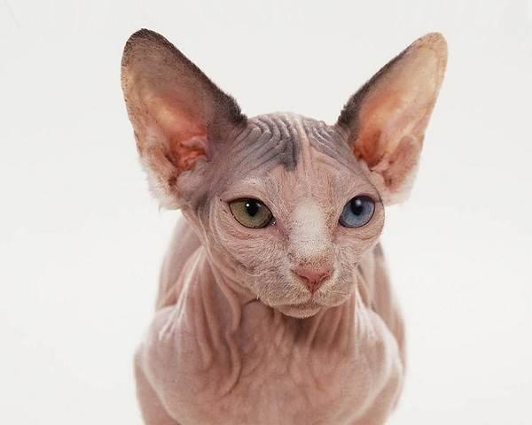Порода-кошки-минскин-её-особенности-характер-и-как-ухаживать-за-ней-3