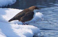 Птица оляпка, её особенности, образ жизни и среда обитания