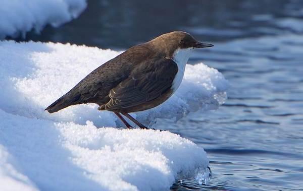Птица-оляпка-её-особенности-образ-жизни-и-среда-обитания-1