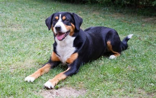Аппенцеллер-собака-Описание-особенности-уход-и-цена-породы-1