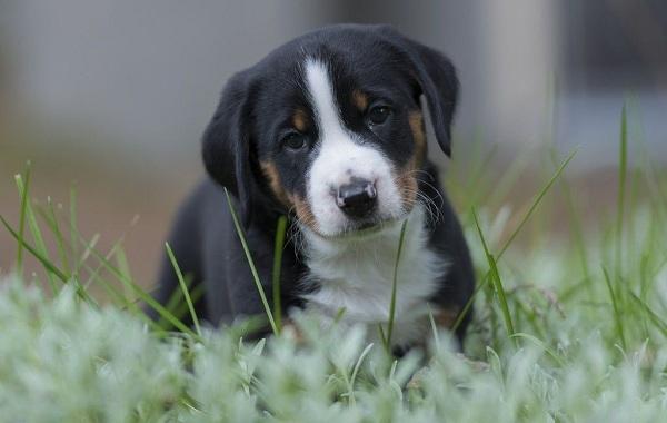 Аппенцеллер-собака-Описание-особенности-уход-и-цена-породы-11