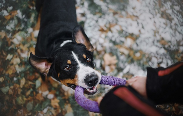 Аппенцеллер-собака-Описание-особенности-уход-и-цена-породы-12