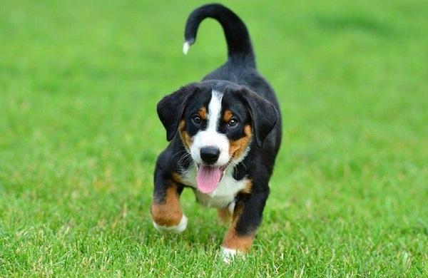 Аппенцеллер-собака-Описание-особенности-уход-и-цена-породы-13