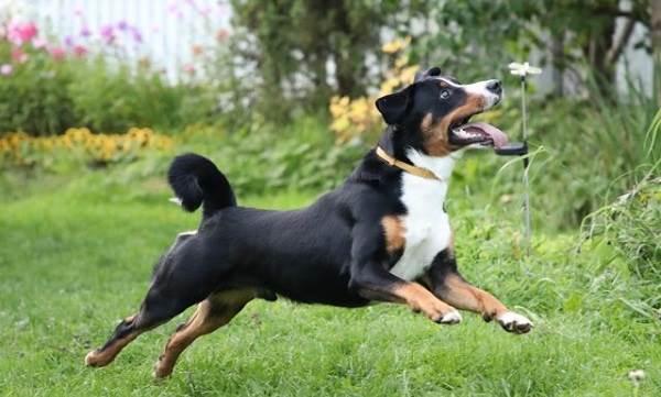 Аппенцеллер-собака-Описание-особенности-уход-и-цена-породы-2