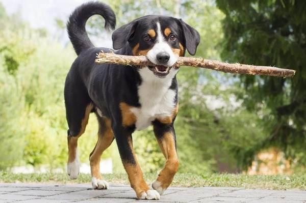 Аппенцеллер-собака-Описание-особенности-уход-и-цена-породы-3