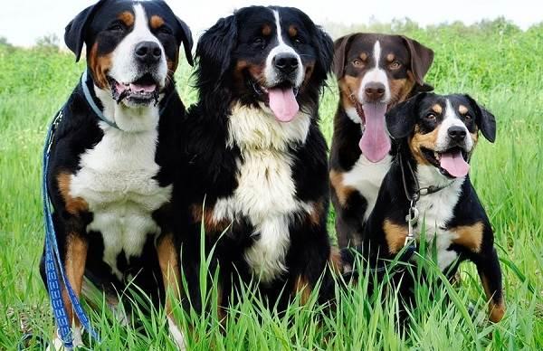 Аппенцеллер-собака-Описание-особенности-уход-и-цена-породы-4