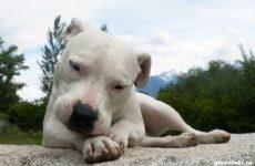 Аргентинский дог собака. Описание, особенности, уход и цена породы