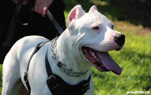 Аргентинский-дог-собака-Описание-особенности-уход-и-цена-породы-4