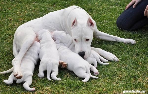 Аргентинский-дог-собака-Описание-особенности-уход-и-цена-породы-5