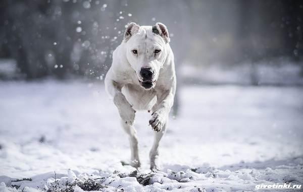 Аргентинский-дог-собака-Описание-особенности-уход-и-цена-породы-6