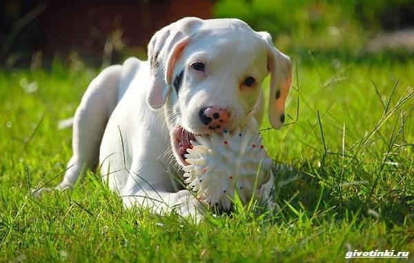 Аргентинский-дог-собака-Описание-особенности-уход-и-цена-породы-8