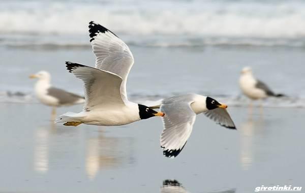 Черноголовый-хохотун-птица-Описание-особенности-образ-жизни-и-среда-обитания-2