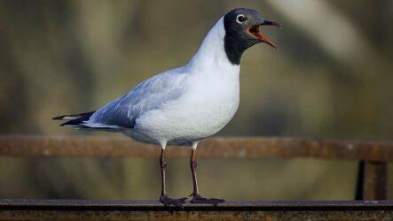 Черноголовый хохотун птица. Описание, особенности, образ жизни и среда обитания