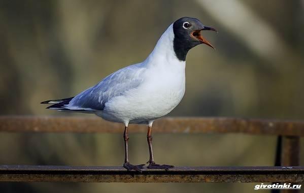 Черноголовый-хохотун-птица-Описание-особенности-образ-жизни-и-среда-обитания-3