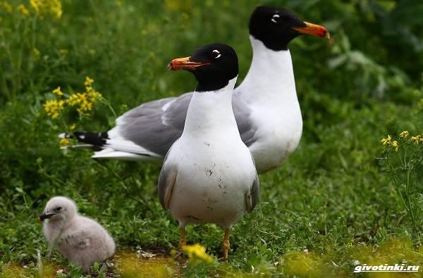 Черноголовый-хохотун-птица-Описание-особенности-образ-жизни-и-среда-обитания-4