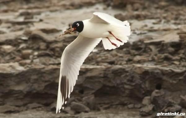Черноголовый-хохотун-птица-Описание-особенности-образ-жизни-и-среда-обитания-8