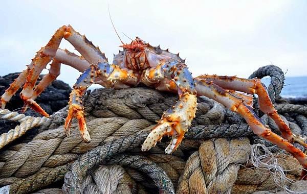 Камчатский-краб-Описание-особенности-виды-образ-жизни-и-среда-обитания-5