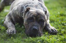 Канарский дог собака. Описание, особенности, уход и цена породы