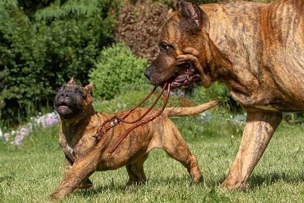 Канарский-дог-собака-Описание-особенности-уход-и-цена-породы-3