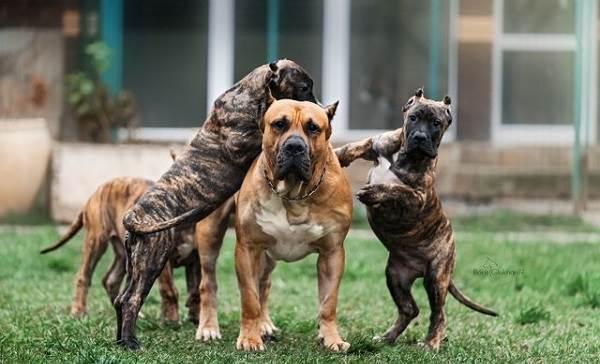 Канарский-дог-собака-Описание-особенности-уход-и-цена-породы-4