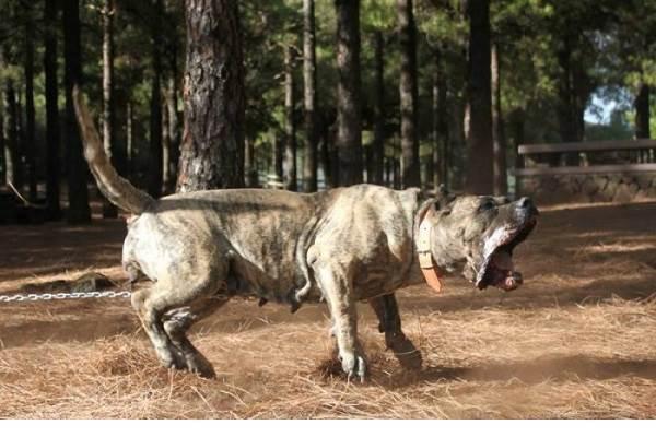 Канарский-дог-собака-Описание-особенности-уход-и-цена-породы-6