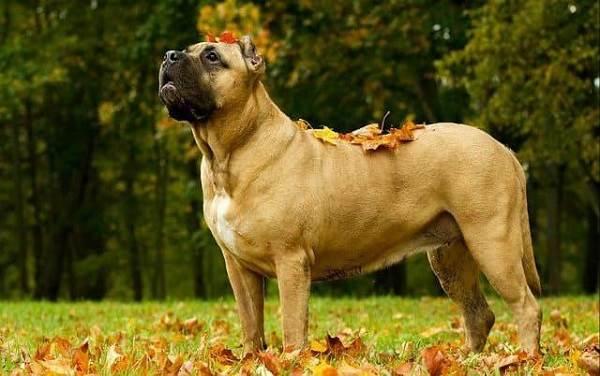 Канарский-дог-собака-Описание-особенности-уход-и-цена-породы-8