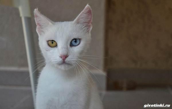 Као-мани-кошка-Описание-характер-уход-и-цена-породы-2
