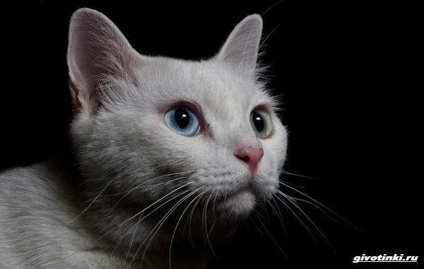 Као-мани-кошка-Описание-характер-уход-и-цена-породы-3