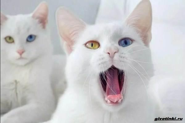 Као-мани-кошка-Описание-характер-уход-и-цена-породы-4