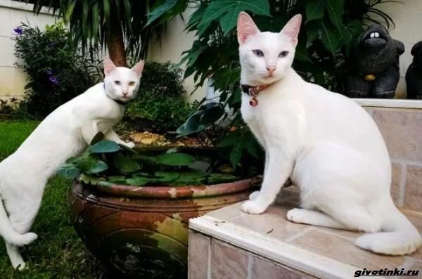 Као-мани-кошка-Описание-характер-уход-и-цена-породы-5