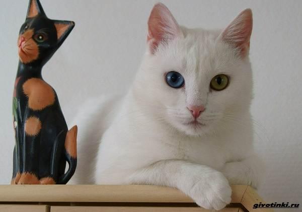 Као-мани-кошка-Описание-характер-уход-и-цена-породы-6