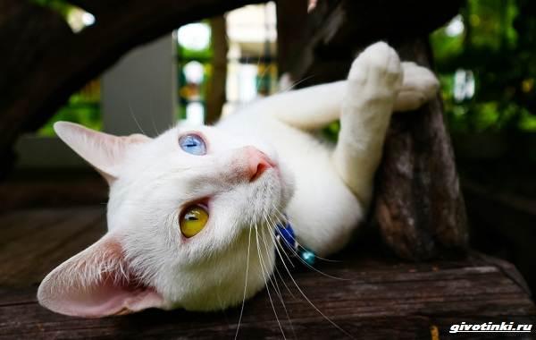 Као-мани-кошка-Описание-характер-уход-и-цена-породы-7