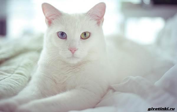 Као-мани-кошка-Описание-характер-уход-и-цена-породы-8