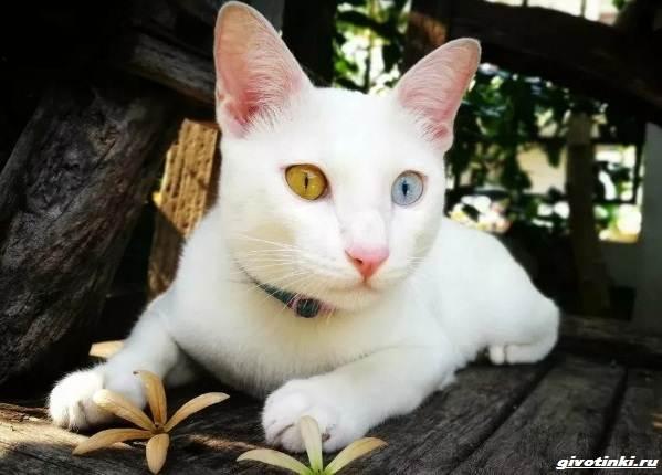 Као-мани-кошка-Описание-характер-уход-и-цена-породы