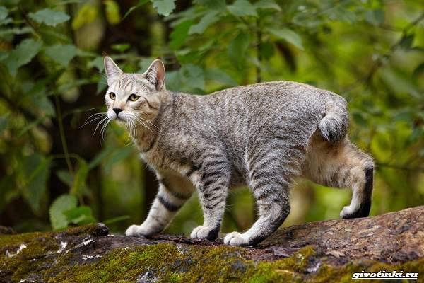 Кошка-пиксибоб-Описание-особенности-характер-уход-и-цена-1