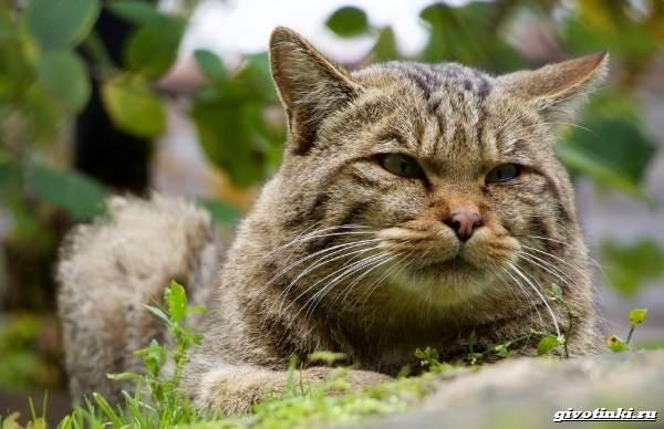 Кошка-пиксибоб-Описание-особенности-характер-уход-и-цена-10