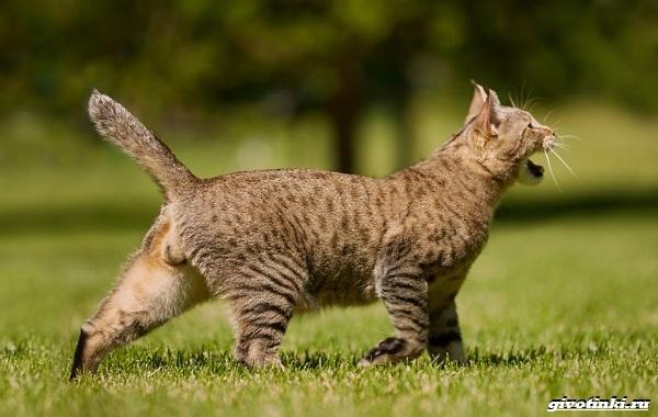Кошка-пиксибоб-Описание-особенности-характер-уход-и-цена-14