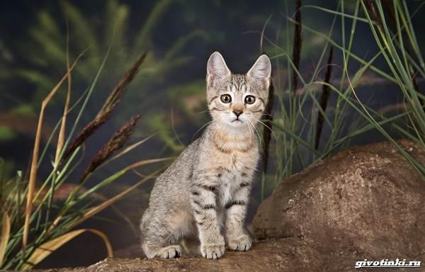 Кошка-пиксибоб-Описание-особенности-характер-уход-и-цена-2