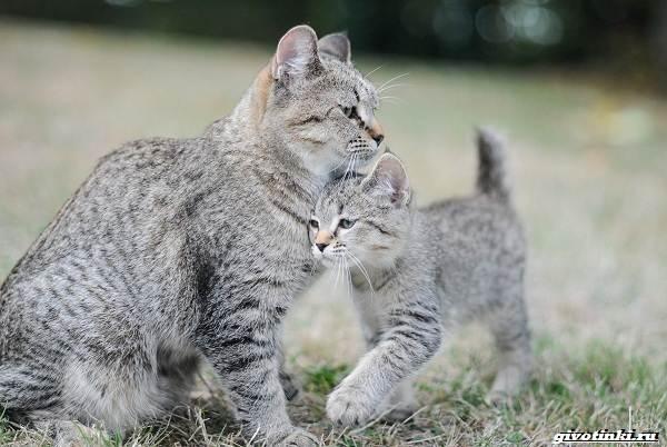 Кошка-пиксибоб-Описание-особенности-характер-уход-и-цена-5