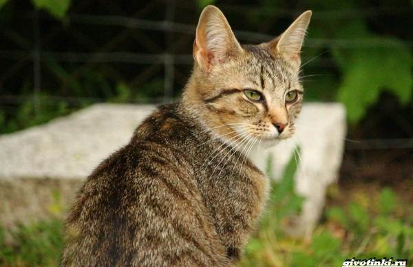 Кошка-пиксибоб-Описание-особенности-характер-уход-и-цена-7