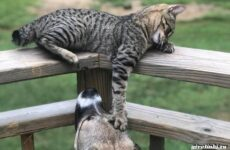 Кошка пиксибоб. Описание, особенности, характер, уход и цена
